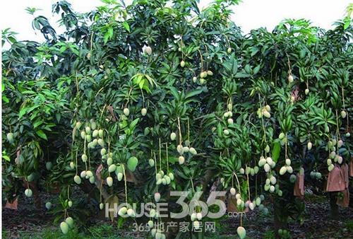 山竹树图片芒果树