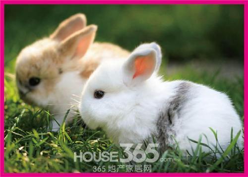 壁纸 动物 兔子 500_357