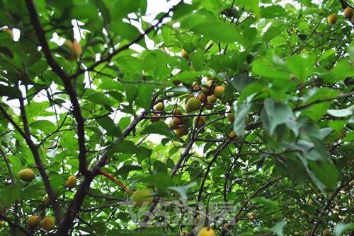 除了各种珍奇花木,还有不少桃树,枇杷树等果树,夏天,果树上结满了果实