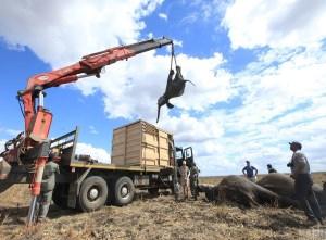 """马拉维500头大象搬家""""动用吊车帮忙"""