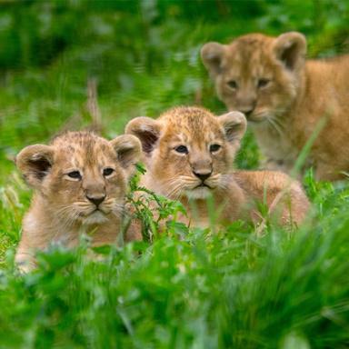 英国一动物园首次诞生三胞胎狮子 公开亮相