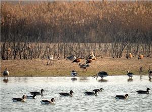 黄河入海口湿地迎来大批候鸟