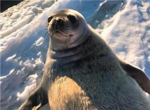 南极中山站附近聚集成群海豹 表情激萌