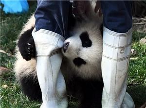 """大熊猫""""奇一""""抱大腿成网红"""