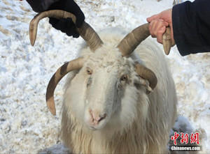 基因变异!新疆昭苏县发现罕见四角羊