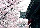 印象锡城第61期:鼋头渚美的不止是樱花
