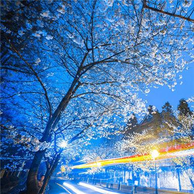 南京迎来樱花盛开期 市民赏夜樱