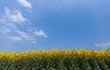 印象锡城第62期:春季,油菜花点亮锡城