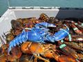 渔民捕获蓝色龙虾 出现概率200万分之一