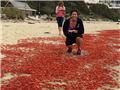 """千万只小龙虾""""入侵""""加州海滩"""