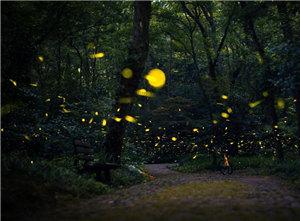 萤火虫夏夜飞舞 好似点点繁星